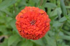 Schöne rot-orangefarbige Chrysantheme, die in Jomtien, TH wächst Lizenzfreies Stockbild