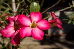 Schöne rote Adeniumblumen Lizenzfreies Stockfoto