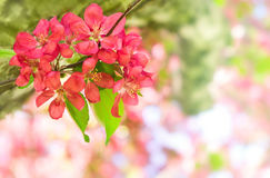 Schöne rote Apfelblumen Stockfoto