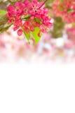 Schöne rote Apfelblumen Stockbild