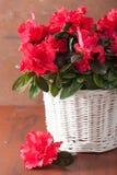 Schöne rote Azalee blüht im Korb über rustikalem Hintergrund Stockfotografie