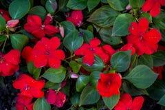 Schöne rote balsamins blüht mit Blüte im Garten Stockfotos