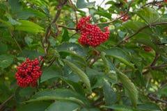 Schöne rote Beeren Lizenzfreies Stockfoto