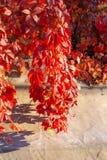 Schöne rote Blätter von mädchenhaften Trauben im Herbstpark lizenzfreie stockbilder