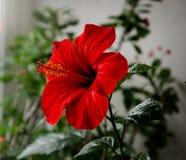 Schöne rote Blume lizenzfreie stockfotos