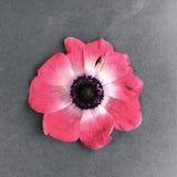 Schöne rote Blume auf einem grauen Hintergrund Stockbild