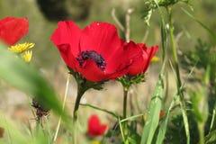 Schöne rote Blume in Negev Lizenzfreie Stockbilder