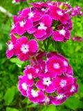 Schöne rote Blumen der wilden Gartennelke Stockfoto
