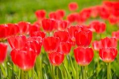 Schöne rote Blumen von Tulpen im Frühjahr stockfoto