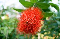 Schöne rote Buschweide haben langen Blütenstaub von der kleinen Blume Lizenzfreies Stockbild
