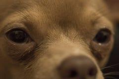 Schöne rote Chihuahua lizenzfreie stockbilder