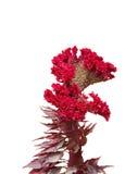 Schöne rote Cockscomb Blume getrennt auf Weiß Lizenzfreies Stockbild
