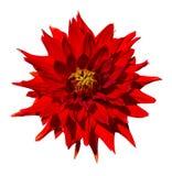 Schöne rote Dahlienblume lokalisiert auf weißem Hintergrund Stockbilder