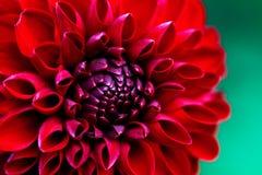 Schöne rote Dahliennahaufnahme Stockbild