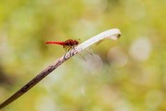 Schöne rote Drachefliege am Park stockfotografie