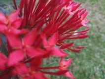 Schöne rote Farbblumen in Sri Lanka stockbilder