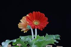 Schöne rote Gänseblümchen Gerberablume Stockbild
