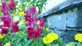 Schöne rote Gartenblumen stock video