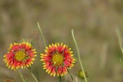 Schöne rote gelbe Sonnenblumen Lizenzfreie Stockfotografie