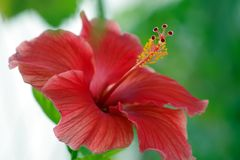 Schöne rote Hibiscusblume, Nahaufnahmebild mit Los Details lizenzfreie stockfotos