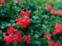 Schöne rote hybride Efeublattpelargonie blüht Pelargonie peltatum auf Blumenbeet Pelargonie peltatum stockbild