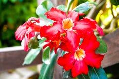 Schöne rote Impalalilie haben rotes Blumenblatt und grüne Blätter Stockfotos