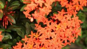Schöne rote Ixora-Spezies blühen auf Blatthintergrund stock video