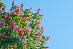 Schöne rote Kastanienbaumblumen blühen nah oben über blauem Himmel Stockfotografie