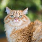 Schöne rote Katze stockfotos