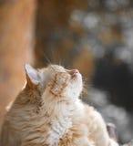 Schöne rote Katze Stockbild