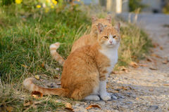 Schöne rote Katze zwei Stockfotografie