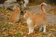 Schöne rote Katze zwei Lizenzfreies Stockfoto