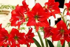 Schöne rote Lilie Lizenzfreie Stockbilder