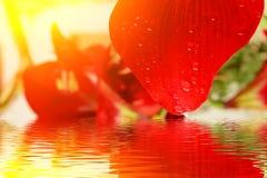 Schöne rote Lilie Stockbilder