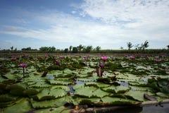 Schöne rote Lotosblume im Lotosteich am sonnigen Tag Lizenzfreie Stockfotos