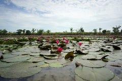 Schöne rote Lotosblume im Lotosteich am sonnigen Tag Stockbilder