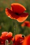 Schöne rote Mohnblume Stockbild