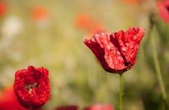 Schöne rote Mohnblume auf grünem schönem backround Lizenzfreies Stockbild