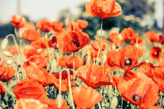 Schöne rote Mohnblume auf grünem schönem backround Stockfotografie