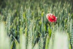 Schöne rote Mohnblume auf Korn Lizenzfreie Stockbilder