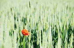 Schöne rote Mohnblume auf Korn Stockfotografie