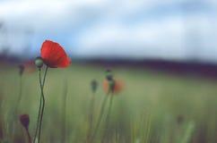 Schöne rote Mohnblume auf Korn Lizenzfreies Stockbild