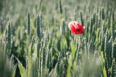 Schöne rote Mohnblume auf Korn Lizenzfreies Stockfoto
