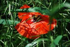 Schöne rote Mohnblume in der Wiese lizenzfreie stockfotos