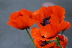 Schöne rote Mohnblume, Symbol von gedenken Militärangehörigen, das im Krieg gestorben sind Auch simbol des Schlafens und des Tode stockfoto