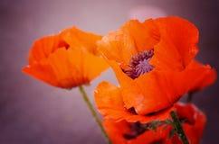 Schöne rote Mohnblume, Symbol von gedenken Militärangehörigen, das im Krieg gestorben sind Auch simbol des Schlafens und des Tode lizenzfreie stockbilder