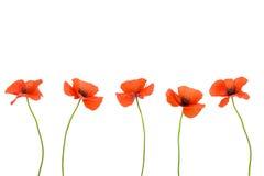 Schöne rote Mohnblumen Stockfotografie