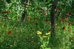Schöne rote Mohnblumen im hohen Gras in der Waldnahaufnahme stockfoto