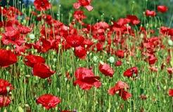 Schöne rote Mohnblumenblumen auf dem Gebiet Stockfoto
