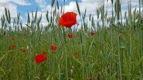 Schöne rote Mohnblumenblumen und viele Ährchen und andere verschiedene Kräuter gegen den blauen Himmel Weg auf dem Feld stock video footage